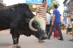 街中にはあたりまえのように牛がいる